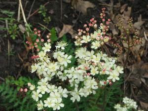 Meadowsweet (Filipendula vulgaris)