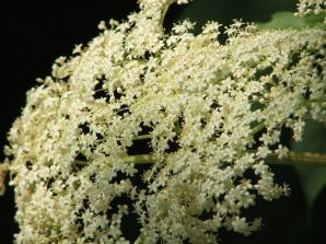 Elderberry panicles glow like moonlight in deep shade.