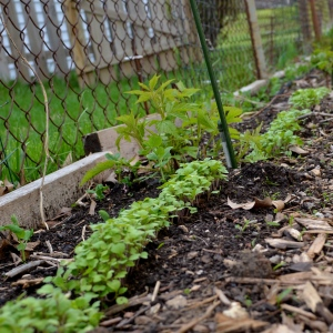 Saving space: turnips, raspberries, and garden peas share the same bed