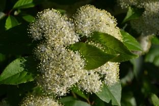 Black Haw Viburnum's first year in bloom