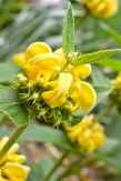 Mighty Jerusalem Sage putting on its show