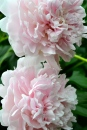 I imagine these will be the last peony photos of the year.