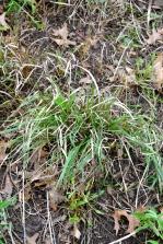 Breaking dormancy: prairie dropseed