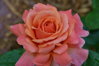 Oooh, a spoiled bratty rose with gorgeous color and perfume