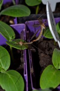 "Craneflies enjoying an ""interlude"" on my cucumber starts.  Biodiversity is the organic gardener's friend."
