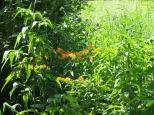 Butterfly Weed (Asclepius tuberosa) nestled among taller grasses and forbs
