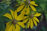 Grey Headed Cone Flower