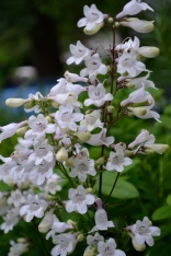 Prairie penstemon is going gangbusters