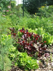 Close plantings of beets, lettuce, dill and carrot.  How many weeds in this photo do you know by name and habit?