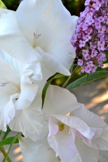 Galdioli and Butterfly bush flowers draw hummingbirds, who battle for sipping rights