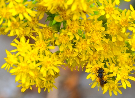 Goldenrod, one of the season's last food sources for honeybees.