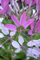 Cleome is also beloved by the hummingbirds