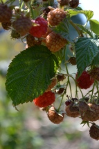 Everbearing raspberries on their second fruiting of the season.