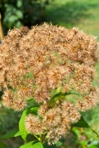 Joe Pye-Weed gone to seed.