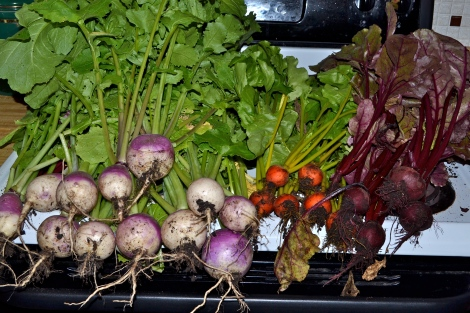 From left to right -- turnips, golden beets, and red beets thinned from the root crop bed