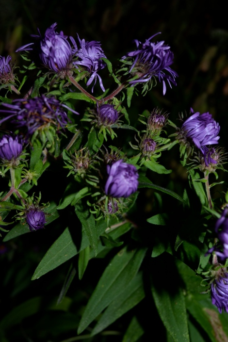 New England Aster just opening its petals to the morning...