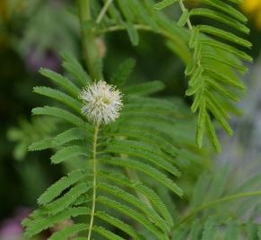 Illinois Bundle Flower--Spring