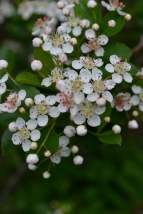 Chokecherry-spring