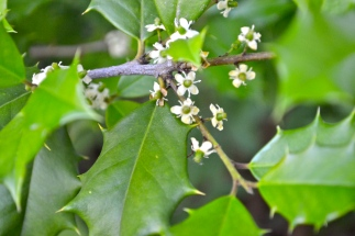 Holly Flowers -- Spring