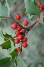 Holly Berries -- Fall