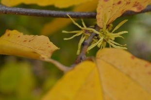 Fall Witch Hazel