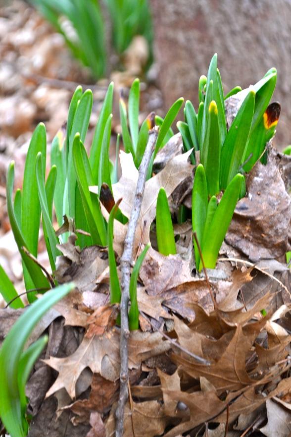 Daffodils thrusting up through the leaf duff
