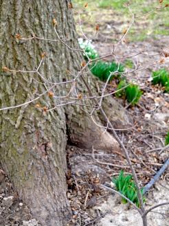 One swamp azalea, with buds