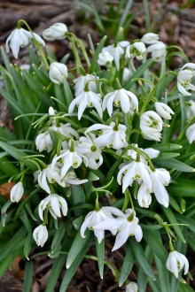 Snowdrops, no worse for wear