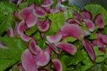 Yummy garden salad greens decorated with slivered watermelon radish...