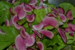 Yummy garden salad greens decorated with slivered watermelon radish...