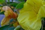 Oenothera, doing its thing!