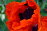 My poppies are being shaded out by the oak tree, but still put on a lovely show
