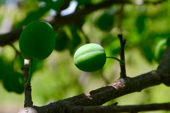 Plum fruits swelling...